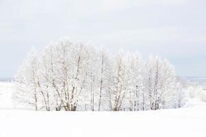 bosque de abedules en invierno foto