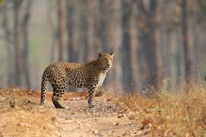 Male Leopard stood in open dry forest