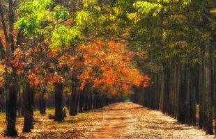 Rubber forest in leaf leaving season, Vietnam photo