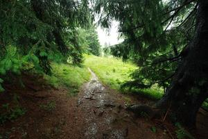 Landscape rainy day in mountain spruce forest