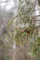 wet tree branches in winter forest photo