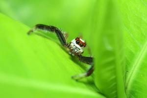 Small jump spider in rain forest photo