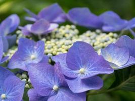 Beautiful Bluish violet hydrangea in early summer