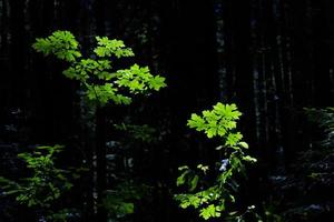 Green leaves among dark forest photo