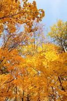 autumn maple photo