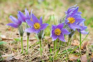 flor de pasque en un bosque foto
