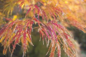 brocade of Autumn.
