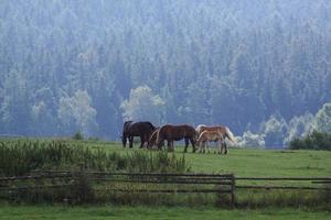 Horses on the mountain meadow photo