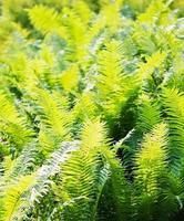 Fern leaves photo