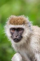 Macaco vervet (chlorocebus pygerythrus) fêmea de perto, áfrica