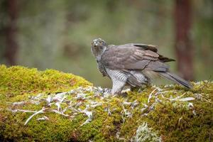 Goshawk Feeding photo