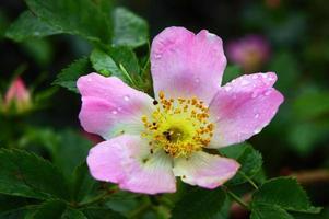bloem wilde roos