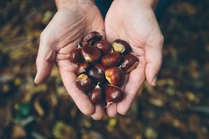 Man holding fresh Chestnuts from English Countryside forest