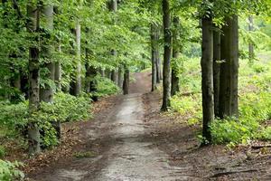 strada sabbiosa in un bosco di faggi in primavera