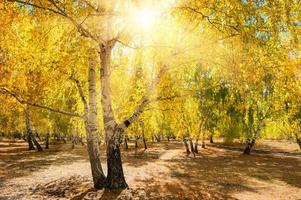 Yellow trees in autumn forest at sunny day photo
