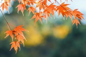 hojas de arce rojo en otoño foto