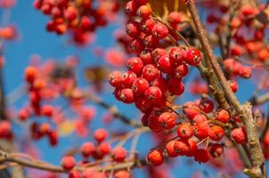 serbal de otoño rojo