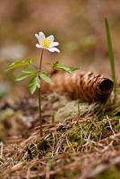 White anemones in forest photo