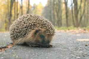 hedgehog autumn leaves forest photo