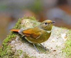 pássaro marrom, fêmea niltava de barriga vermelha (niltava sundara)