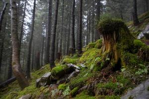 The primeval forest with mossed ground photo