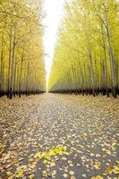 Yellow autumn trees line a road