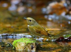 pequeno pássaro marrom, fêmea niltava de barriga vermelha (niltava sundara