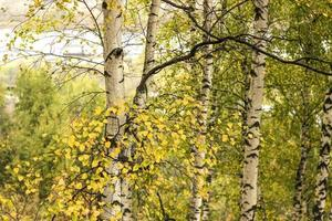 Autumn birch grove