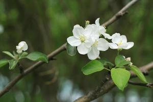 White flowers Apple tree photo
