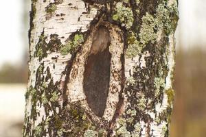 Wounded birch photo