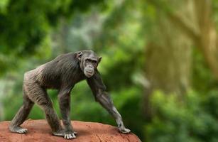 Chimpanzee walking