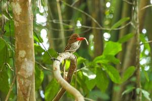 Female Banded Kingfisher (Lacedo pulchella) on the branch in nat
