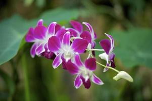 Pink Orchidee photo
