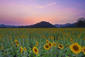 Beautiful sunflowers amidst mountains in evening.