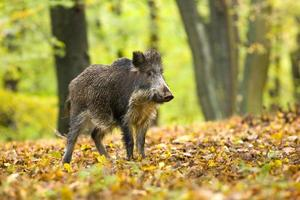 Wild boar in autumn forest with orange leaves