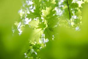 Green oak leaves photo