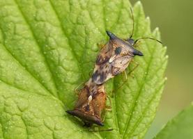 insectos de los insectos del bosque (apareamiento) foto