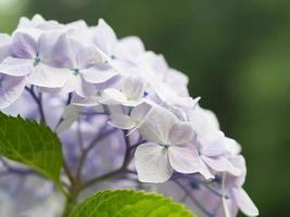hermosa hortensia púrpura claro a principios de verano foto