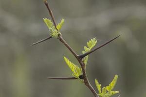 honey locust thorns photo