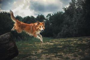cane border collie rosso che salta da un registro