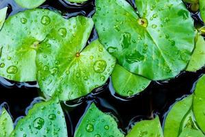 Drop of water on lotus leaf photo