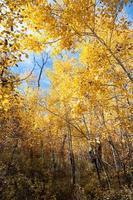aspen trunks autumn, colorado