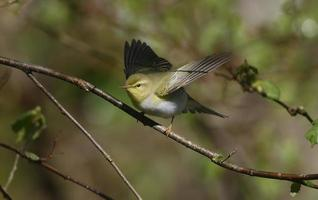 Wood warbler, Phylloscopus sibilatrix,