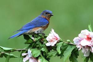 uccello azzurro orientale