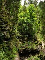 Trees growing on the steep sides of the Breitachklamm, Germany