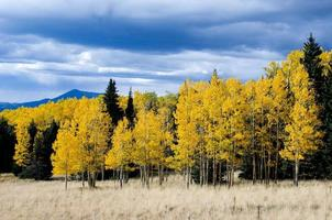 Pines and Aspens photo