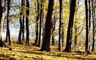 Trunks of trees with fallen yellow leaves photo