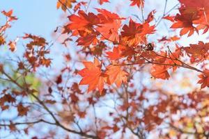 folhas de bordo, fundos abstratos de outono [foco suave]