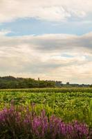 lavander on a country road in the fields of italy photo