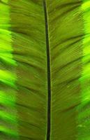 closeup Leaf of Giant Alocasia or Giant Taro